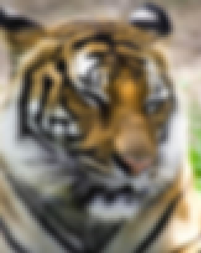 Tiger is listed (or ranked) 2 on the list The Top 10 Animals