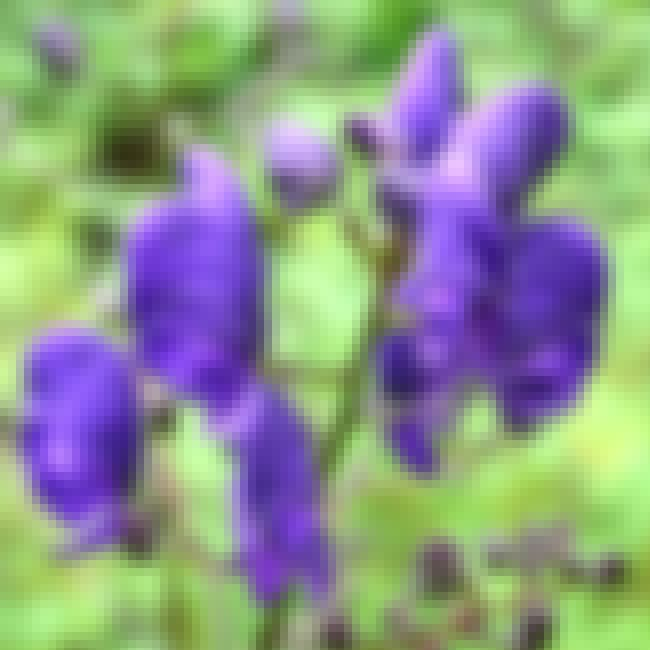 Aconitum Napellus - Monkshood is listed (or ranked) 7 on the list The World's Most Violent Plants