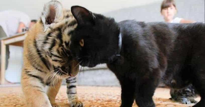 siberian cat breeders michigan