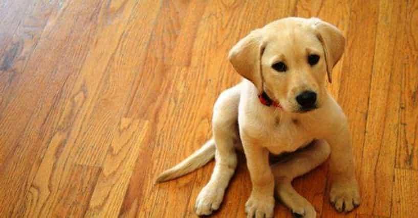 Cute Yellow Labrador Photo