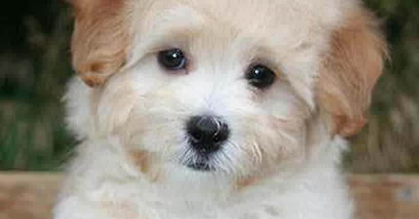 cutest maltipoo pictures cute photos of maltipoos