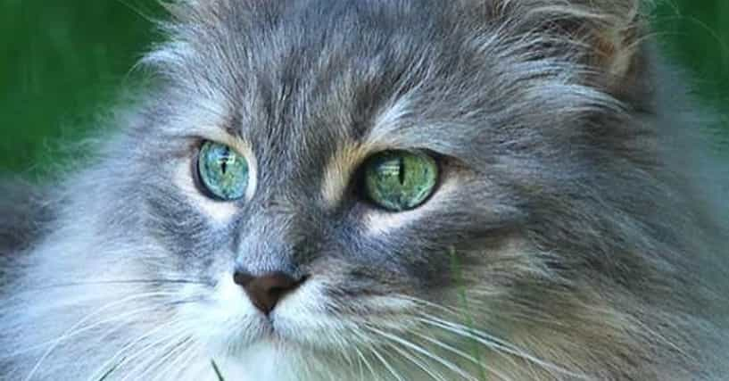 Best Long Haired Cat Breeds List Of Long Hair Cats