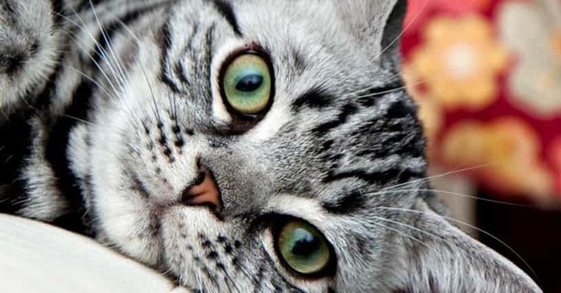 Best Short Hair Cat Breeds List Of Short Haired Cats