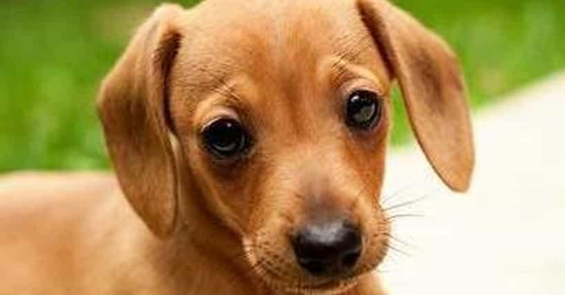 Cutest Dachshund Pictures List Of Adorable Dachshund Photos