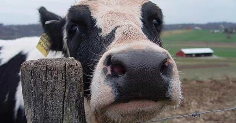 best cow jokes