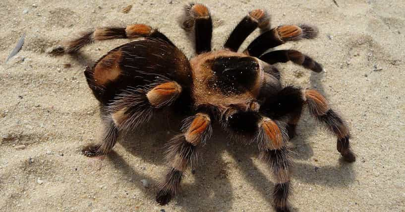 Funny Tarantula Names List Of Cute Names For Spider