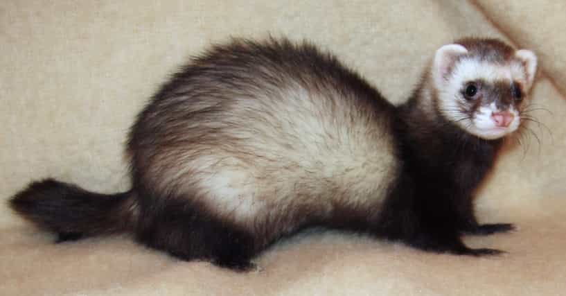 Funny Ferret Names List Of Cute Names For Ferrets
