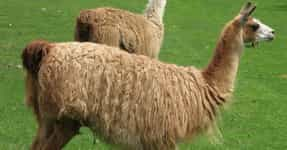 Funny Llama Names | List of Cute Names for Llamas