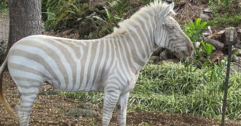 Half albino animals