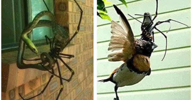 Giant Orb Weaver Spiders Exist And They Re Terrifying