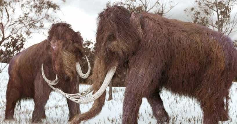 Male Woolly Mammoths Were Idiots - Which Is Probably Why ...