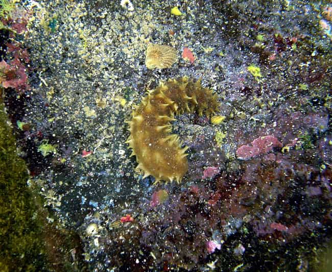 Sea cucumber is listed (or ranked) 3 on the list These Animals Can Survive Being Eaten Alive