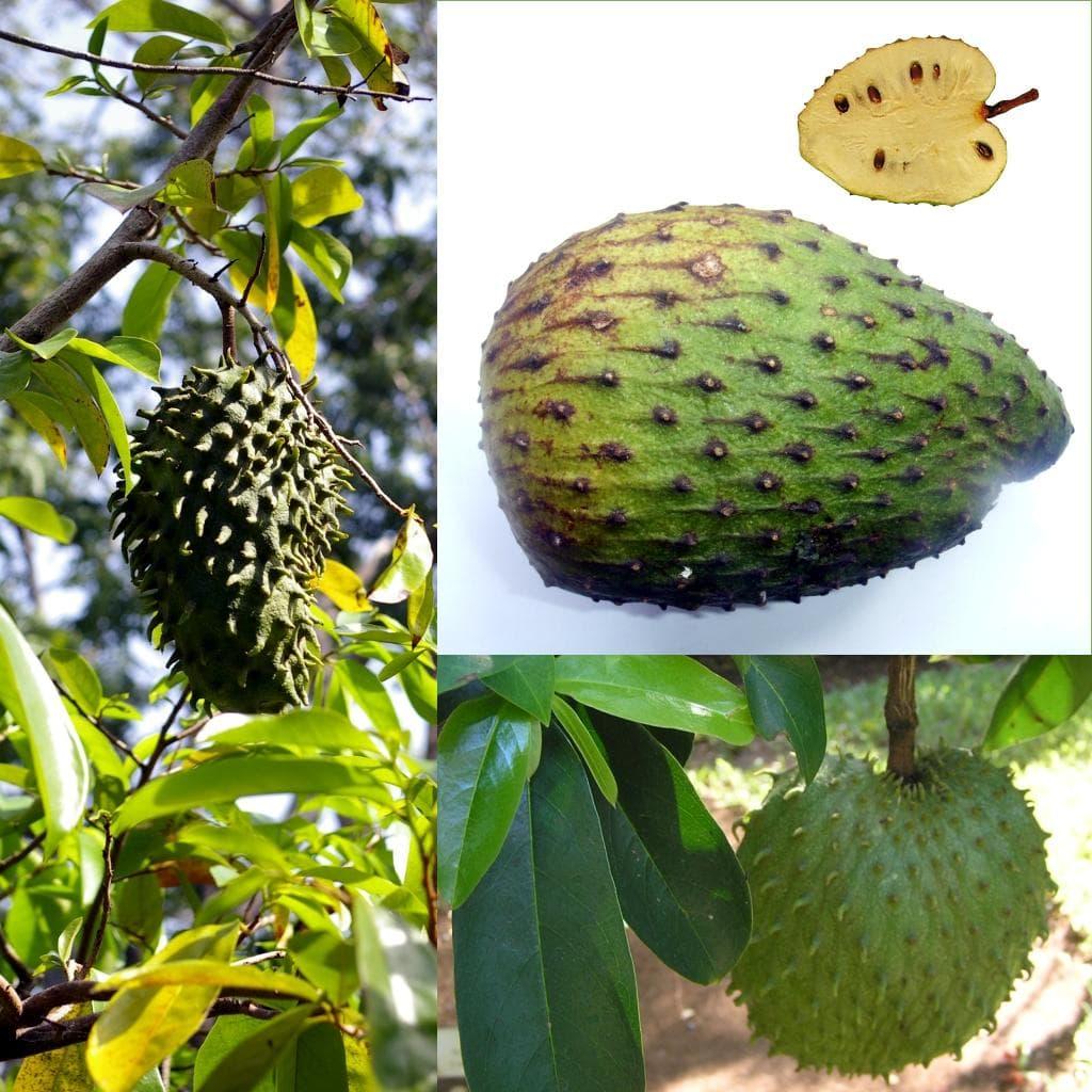 Soursop on Random Best Tropical Fruits
