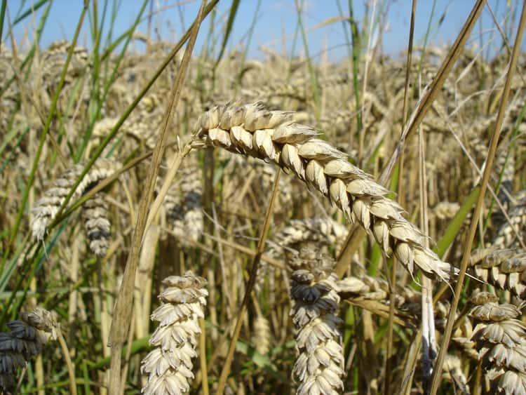 Wheat Pretty Much Fed The World