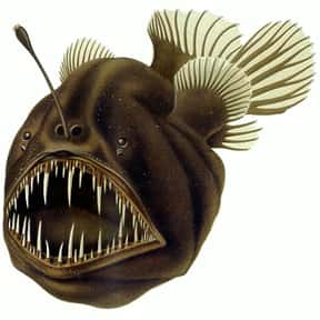 Anglerfish is listed (or ranked) 20 on the list What Sea Creature Do You Want to Be?