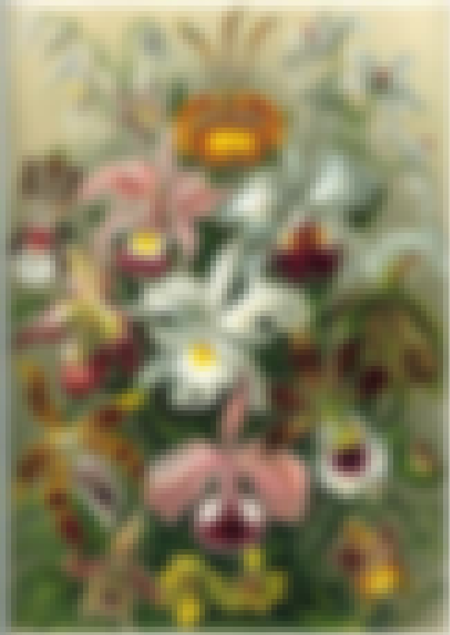 Orchidae is listed (or ranked) 4 on the list Famous Ernst Haeckel Printmakings