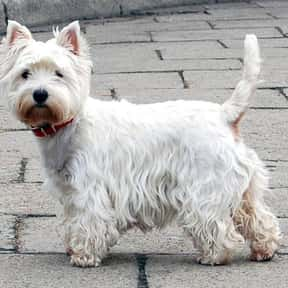 West Highland White Terrier is listed (or ranked) 12 on the list The Best Apartment Dogs