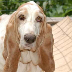 Basset Hound is listed (or ranked) 22 on the list The Best Apartment Dogs