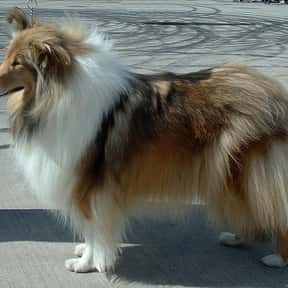 Collie is listed (or ranked) 5 on the list The Best Dogs for First-Time Owners