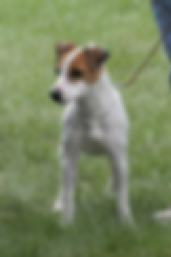 Jack Russell Terrier is listed (or ranked) 1 on the list List of 25+ Stubborn Dog Breeds