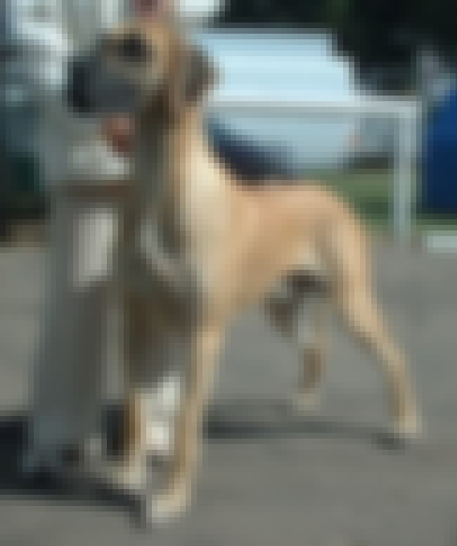 Great Dane is listed (or ranked) 7 on the list The Best Dog Breeds