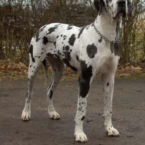 Great Dane is listed (or ranked) 5 on the list The Best Dog Breeds for Families