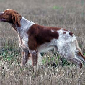 Brittany is listed (or ranked) 21 on the list The Best Dogs for Men