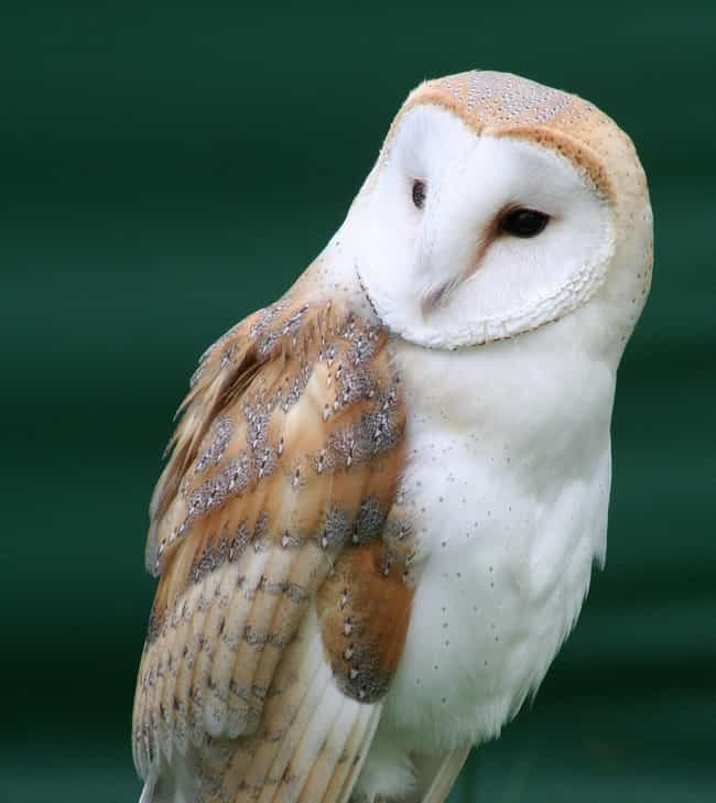 Barn Owl is listed (or ranked) 3 on the list 13 Monogamous Animals That Mate For Life