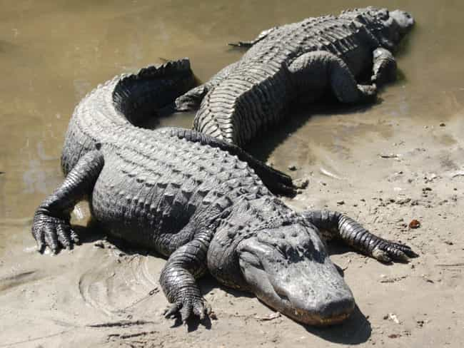 Alligator is listed (or ranked) 2 on the list 13 Times People Actually Found Animals In Sewers
