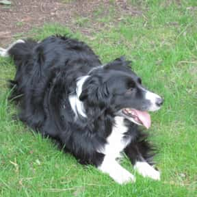 Border Collie is listed (or ranked) 12 on the list The Best Dogs for Hiking