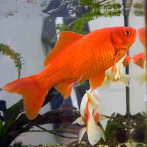 Goldfish is listed (or ranked) 8 on the list The Best Pets for Kids