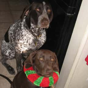 German Shorthaired Pointer is listed (or ranked) 25 on the list The Best Dog Breeds for Families