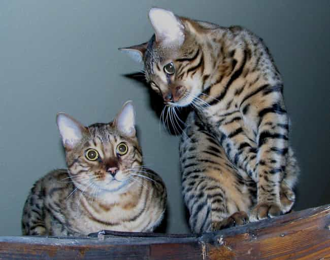 Bengal is listed (or ranked) 1 on the list The Best Hypoallergenic Cat Breeds