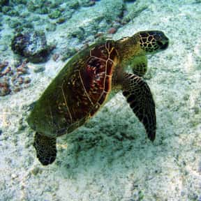 Sea turtle is listed (or ranked) 4 on the list What Sea Creature Do You Want to Be?