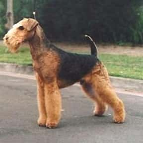 Airedale Terrier is listed (or ranked) 24 on the list The Best Dogs for Hiking