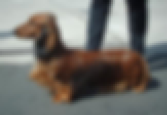 Dachshund is listed (or ranked) 2 on the list 10+ Clever Dog Breeds That Will Eventually Outsmart You