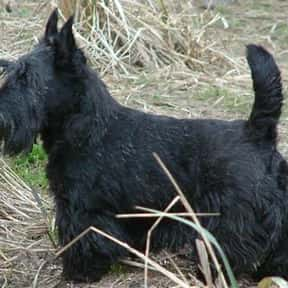 Scottish Terrier is listed (or ranked) 15 on the list The Best Apartment Dogs
