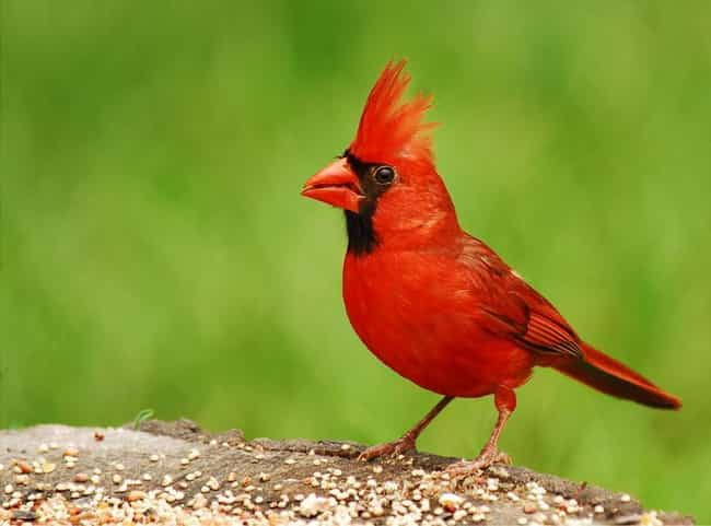 Cardinal is listed (or ranked) 4 on the list Snake Orgies, Gender Swaps and 13 Other Amazing Animal Sex Rituals