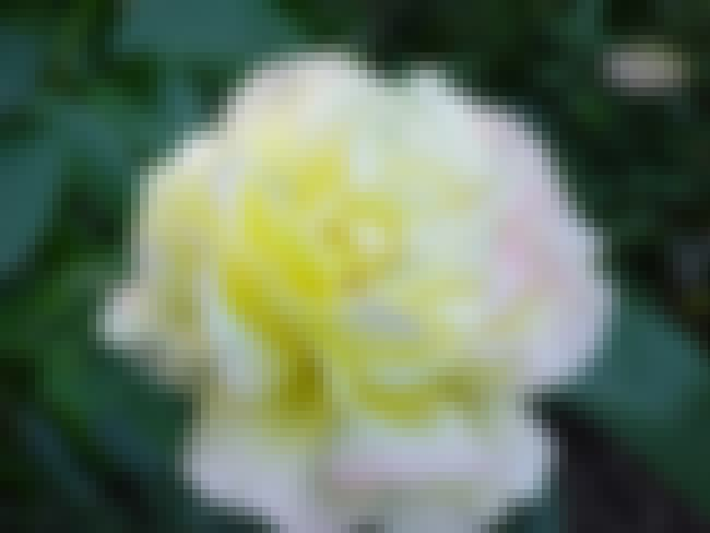 Peace is listed (or ranked) 2 on the list All-America Rose Selections Winners List