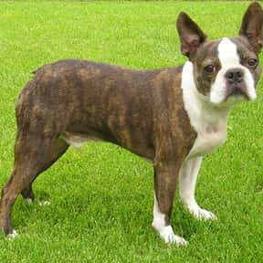 Boston Terrier is listed (or ranked) 23 on the list The Best Dogs for Men