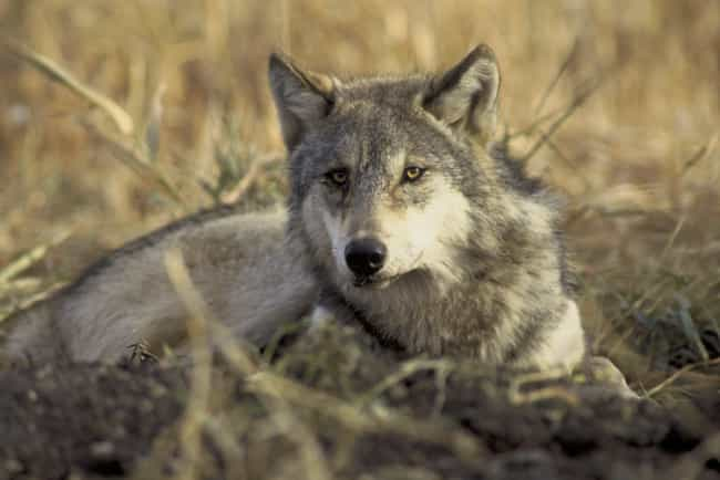 Gray Wolf is listed (or ranked) 4 on the list Invasive Animals You Can Actually Get Paid To Hunt