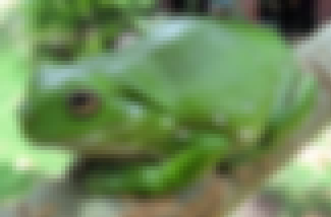 Frog is listed (or ranked) 3 on the list Animals That Devour Their Prey In Just One Bite