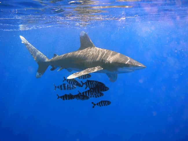 Shark is listed (or ranked) 2 on the list Immaculate Conception: Animals That Have Virgin Births