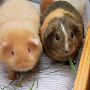 Guinea pig is listed (or ranked) 3 on the list The Best Pets for Kids