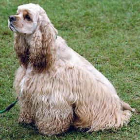 American Cocker Spaniel is listed (or ranked) 20 on the list The Best Apartment Dogs