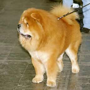 Chow Chow is listed (or ranked) 18 on the list The Best Dogs for Protection