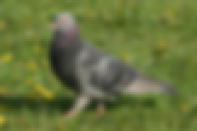 Rock Pigeon is listed (or ranked) 2 on the list 13 Animals That Have Adapted To Thrive In Cities