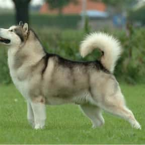 Alaskan Malamute is listed (or ranked) 25 on the list The Best Dogs for Hiking