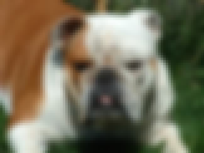 Bulldog is listed (or ranked) 4 on the list The Best Dog Breeds