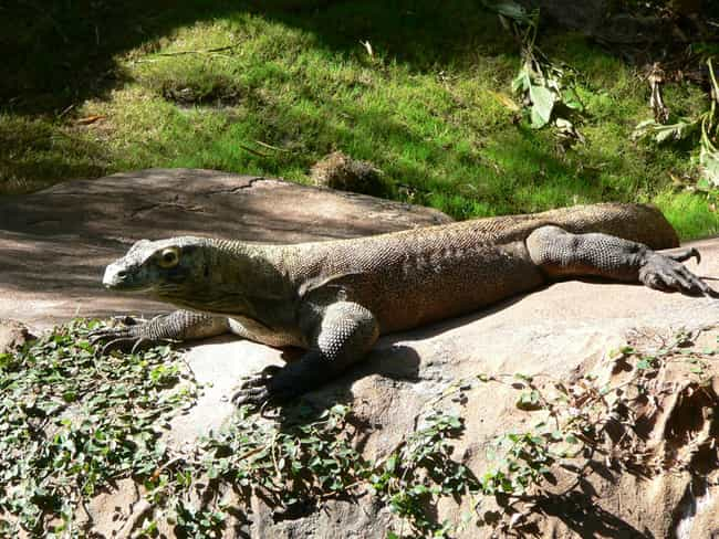 Komodo dragon is listed (or ranked) 3 on the list Immaculate Conception: Animals That Have Virgin Births